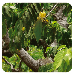 HUILE ESSENTIELLE D'YLANG-YLANG EXTRA BIO