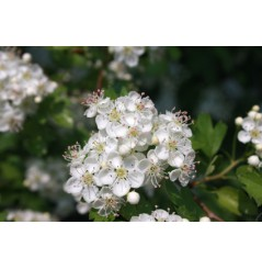 CALMELIA AUBEPINE - poudre de sommités fleuries